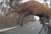 Videó: Szerencsés kimenetelű lett egy 5-ös BMW és egy szarvascsorda találkozása Lengyelországban