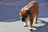 """博塔斯向""""邻居""""汉密尔顿""""投诉""""其爱犬"""