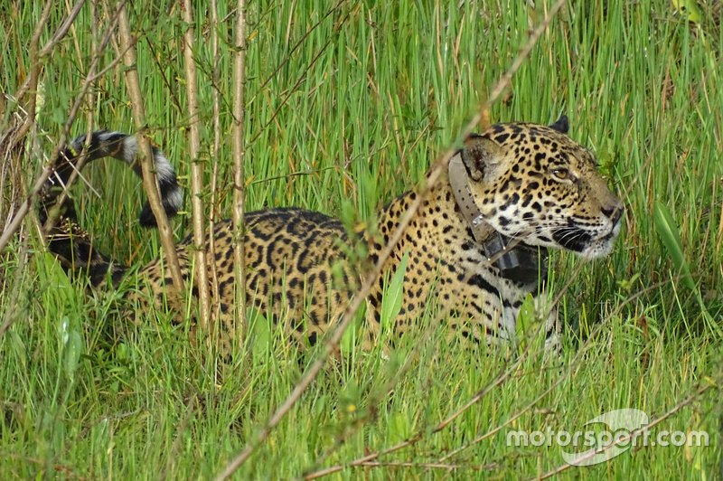 Oncafari Project – wild jaguar wearing GPS collar