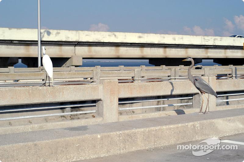 Herons on Sunshine Skyway Bridge