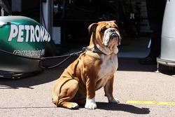 Бульдог Роско, який належить Льюісу Хемілтону, Mercedes AMG F1