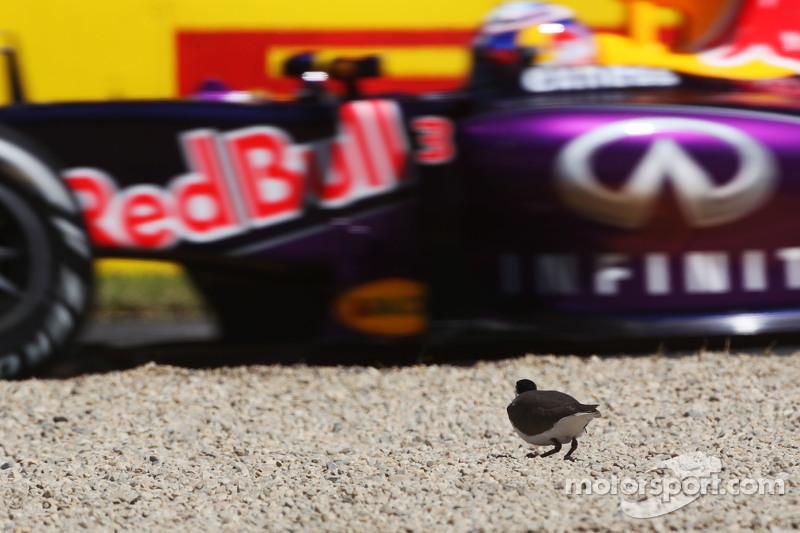 一只鸟看着丹尼尔·里卡多,红牛车队的RB11赛车驶过