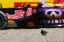 Un oiseau regarde Daniel Ricciardo, Red Bull Racing RB11 passer