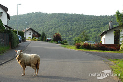 A sheep in Herschbroich