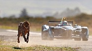In duel: De Formule E-auto tegen een Cheetah